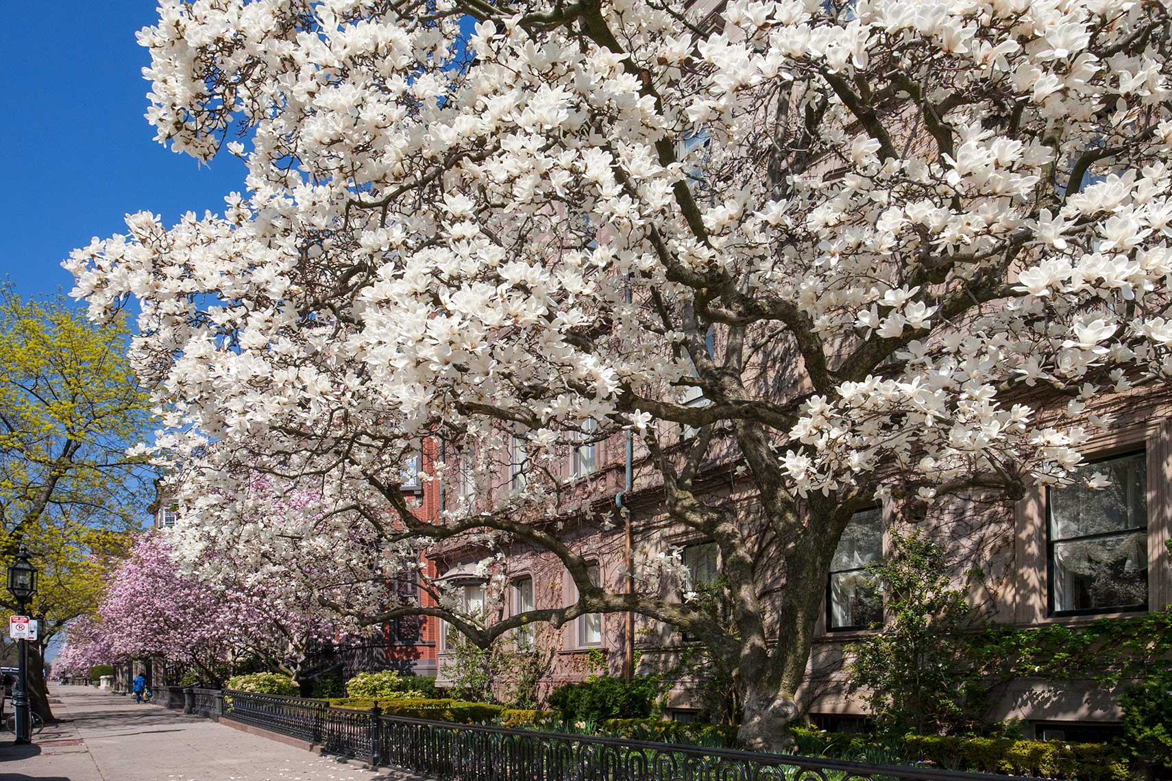 Gorgeous magnolia trees on Commonwealth Avenue in Boston